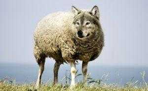 овцеволк